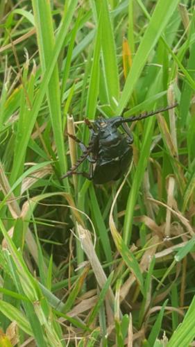 Spezieller Käfer:Beim spazieren begegnet noch nie zuvor so einen gesehen. Grösser als mein Daumen.